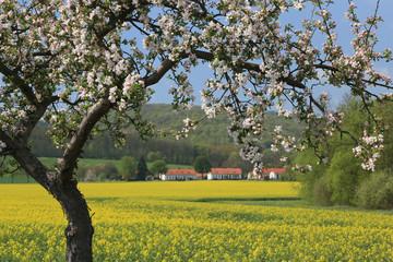 Apfelbaum mit Rapsfeld