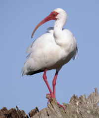 White Ibis in Florida