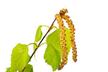 twig birch