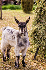 Portrait of a cute goat
