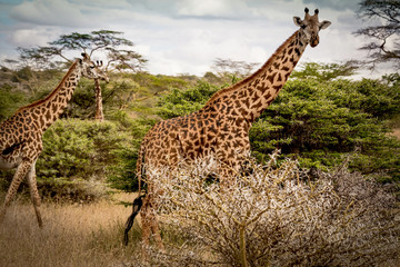Giraffes moving through savanna