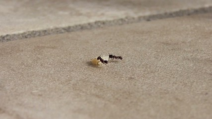 ants carrying crumbs away