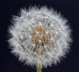 Dandelion Seed Head - 65004940