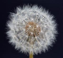 Dandelion Seed Head © jellytott17