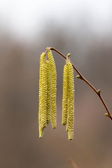Corylus avellana, Hazelnoot male flowers