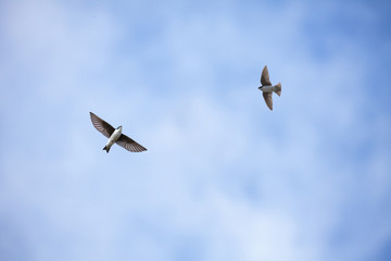 Flying Tree Swallow