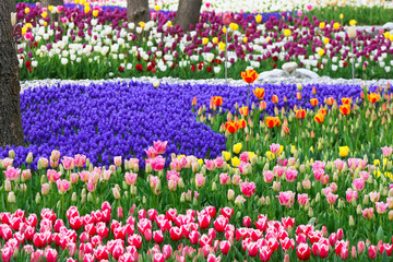 Colorful Tulip Forest in Emirgan Wood,Istanbul