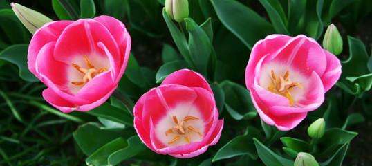 Three Pink Tulips ,Close up