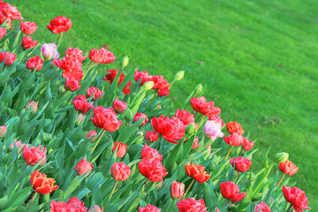 Red tulips against green meadow