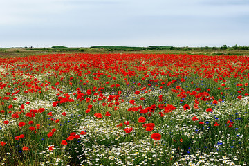 Landscape with poppies and chamomile-6