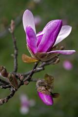 Magnolia 4