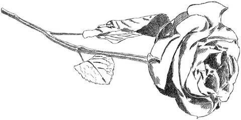 Rose Zeichnung Handzeichnung Grafik Illustration