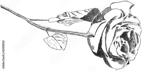 Rose Zeichnung Handzeichnung Grafik Illustration © artefacti