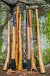 Collection of Didgeridoo's. - 65009115