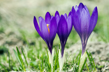 Three crocus flower