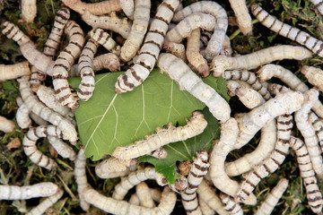Many silkworms eating mulberry leaves