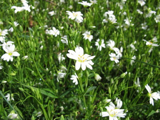 Große Sternmiere mit Blüten, Stellaria holostea