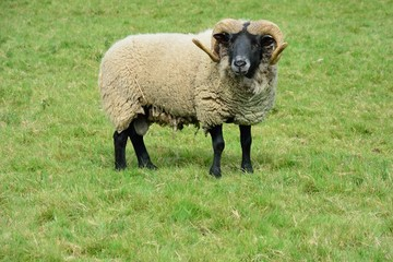 Rare breed ram in field