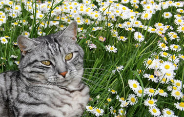 Katze in der Gänseblümchenwiese