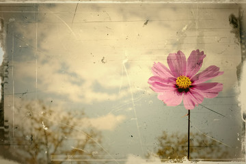 Vintage pink daisy blowing in the summer