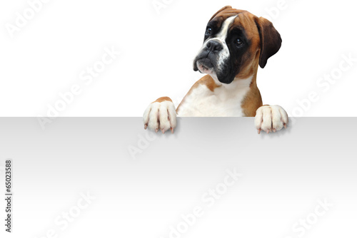 canvas print picture Boxer 326