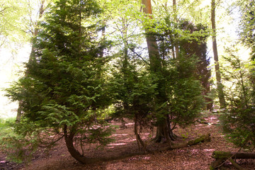 three trunks regrowing from fallen tree