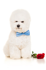 Bichon dog with red rose sitting on a white background