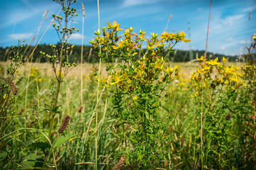 meadow, peace, blue sky, tall grass and yellow flowers
