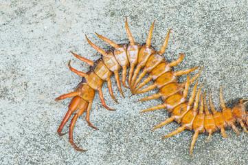 poison animal centipede