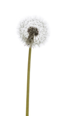 dandelion macro isolated on white