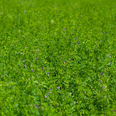 lucerne - alfalfa - background