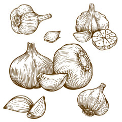 engraving illustration of garlic