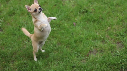 chihuahua jumping on two legs on the grass- 1920x1080