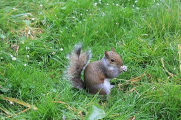 squirrel - scoiattolo