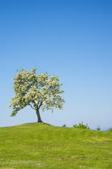 Blühender Obstbaum mit blauem Himmel