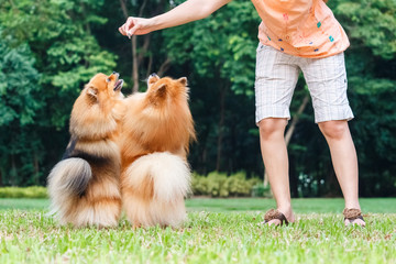 Pomeranian dogs standing on its hind legs to get a treat
