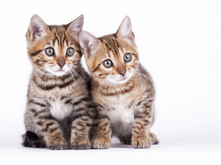 2 Bengal kittens, 2 months old, in front of white background