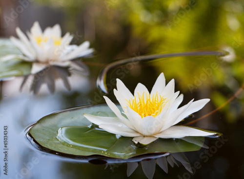 Fotobehang Lotusbloem Water lily