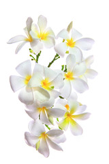 close up white frangipani  petal flowers bouquet with fresh wate