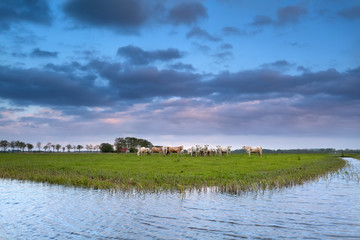 cows on pasture by river at sunset