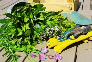 plantes aromatiques fraichement cueillies au jardin