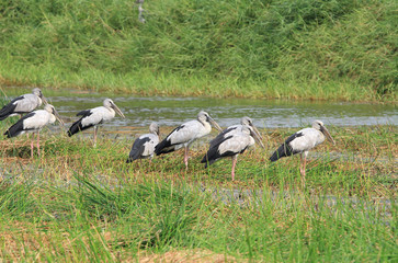 Crowd of asian openbill stork on the marsh land