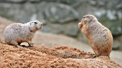 Two prairie dogs