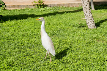 Heron walks on green grassy lawn