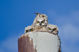 Great Horned Owl Nest With Three Owlets Making Eye Contact