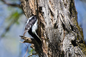 Downy Woodpecker Entering Its Home