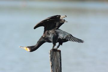 cormorano nell'oasi del torrile