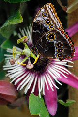 Passiflora VIOLACEA and a Blue morpho butterfly