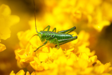 Green grasshopper on the flower close up