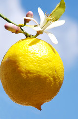 Lemon on a branch, isolated on blue sky